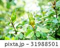 クチナシ 梔子 実の写真 31988501