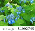紫陽花 31992745