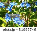 紫陽花 31992746