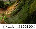 精進諏訪神社の大杉 31995908
