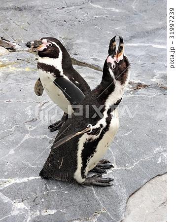 フンボルトペンギンの名前の由来はフンボルト海流に生息しているところからきています。とにかく可愛い。 31997239