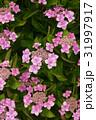 ガクアジサイ 桃色 花の写真 31997917