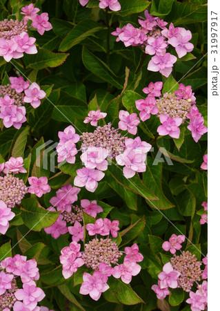 園芸品種のピンクでかわいいガクアジサイ-1 31997917