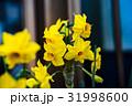 黄色いスイセンの花 31998600
