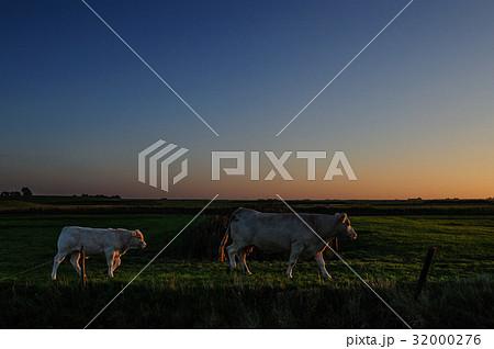 Cows at Dusk 32000276