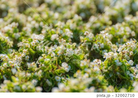 花の絨毯 32002710