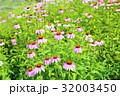 花 エキナセア ピンクの写真 32003450