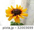 窓辺に飾ったビタミンカラーのルドベキア 32003699