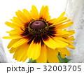 ルドベキアの花 32003705