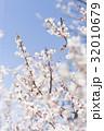 梅の花(白梅) 32010679