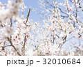 梅の花(白梅) 32010684