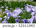 薄紫色のハナショウブ 32011965
