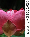 蓮の花 32012620