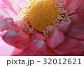 蓮の花 32012621