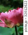蓮の花 32012622