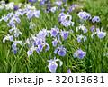 うす紫のハナショウブ 32013631