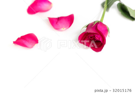 Pink rose with leaves isolated on white backgroundの写真素材 [32015176] - PIXTA
