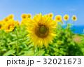 向日葵 32021673