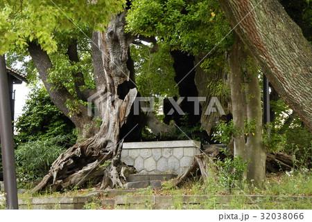 雲龍神社のクスノキ(愛知県名古屋市) 32038066
