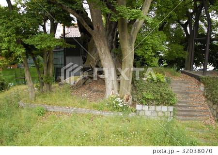 雲龍神社のクスノキ(愛知県名古屋市) 32038070