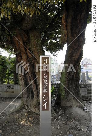 乗蓮寺のスダジイ(愛知県刈谷市) 32041592