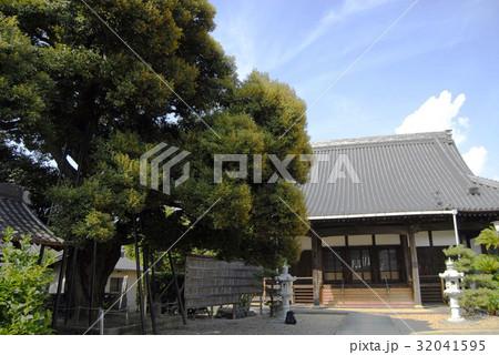 乗蓮寺のスダジイ(愛知県刈谷市) 32041595