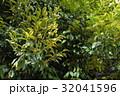 乗蓮寺のスダジイ(愛知県刈谷市) 32041596