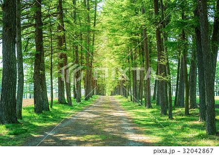 カラマツ並木 並木道 32042867