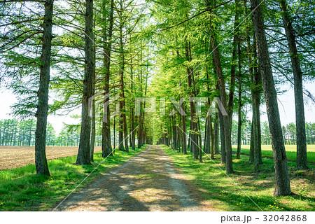 カラマツ並木 並木道 32042868