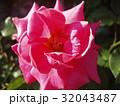 バラの花 32043487