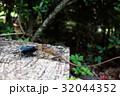 とかげ トカゲ 狩りの写真 32044352