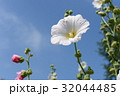 ムクゲ・フヨウの花 32044485