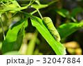 幼虫 昆虫 アゲハチョウ科の写真 32047884