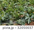 ズッキーニ畑 32050037