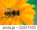 ハチ ミツバチ 蜂の写真 32057435