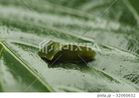 生き物 昆虫 ヒラタミミズク、成虫です。幼虫はペッタンコで親とは似ても似つかない姿だそうです 32060632