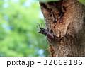 ノコギリクワガタ 昆虫 クワガタの写真 32069186