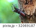 ノコギリクワガタ 32069187