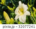 ヘメロカリス・ジョアンシニア 32077241