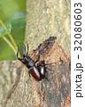 ノコギリクワガタ 昆虫 クワガタの写真 32080603