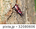 ノコギリクワガタ 昆虫 クワガタの写真 32080606