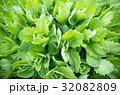 グリーン 緑 緑色の写真 32082809