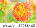ダリア 品種(秋祭り) 32088485