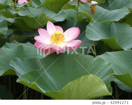 千葉公園のオオガハスの桃色の花 32091271