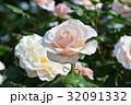 薔薇 花 ピンクの写真 32091332