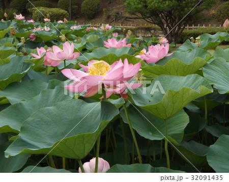 千葉公園のオオガハスの桃色の花 32091435