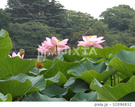 千葉公園のオオガハスの桃色の花 32096832