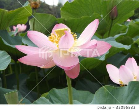 千葉公園のオオガハスの桃色の花 32096833
