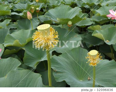 千葉公園のオオガハスの黄色の花托 32096836
