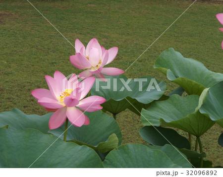 千葉公園のオオガハスの桃色の花 32096892
